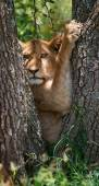 Photo The most beautiful lioness