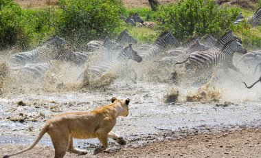 Lioness attack on a zebra