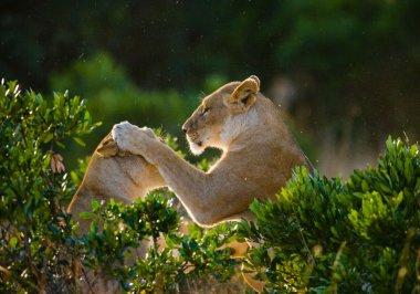 Two lioness playing, Tanzania. National Park. Serengeti. Masai Mara. stock vector
