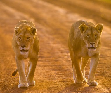 Two lioness in sunset light