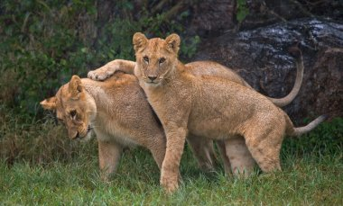 Two Lioness in Kenya.