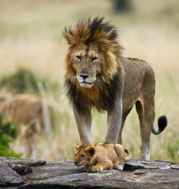 Big lion with lion cub