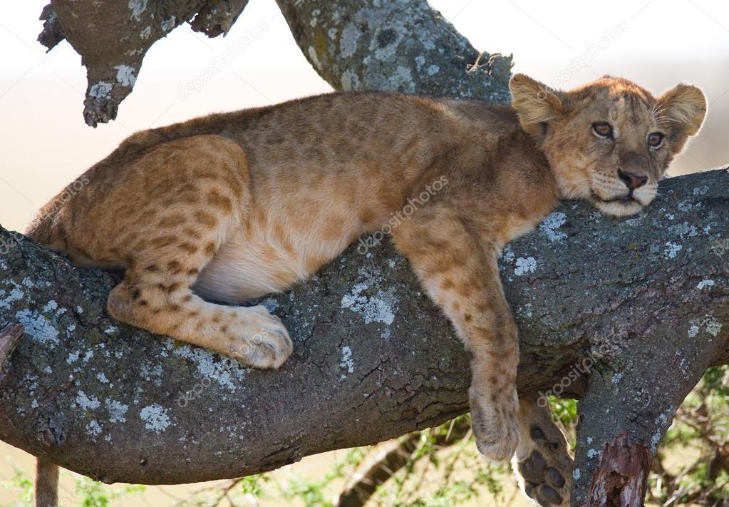 Little lion cub sitting on tree