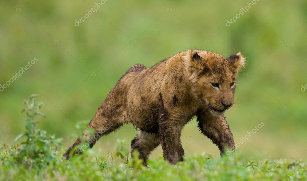 lion cub close up portrait
