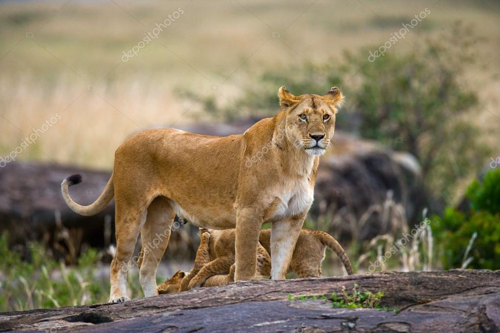 Lioness with lion cubs