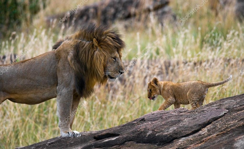 Big lion with lion cub