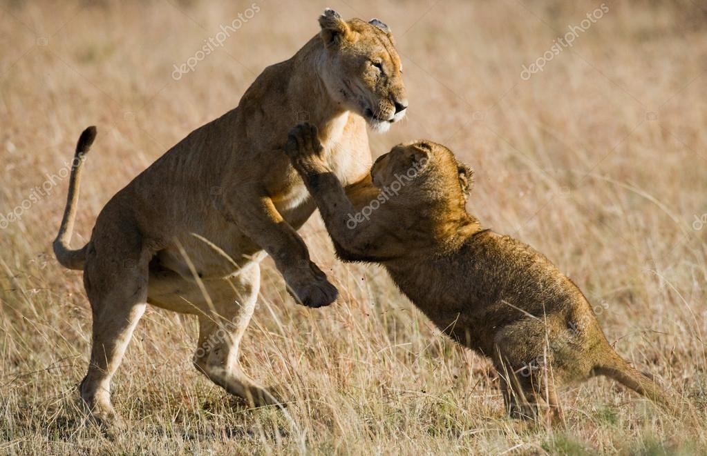 Two little lion cub
