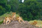 Photo lioness in its habitat with cub