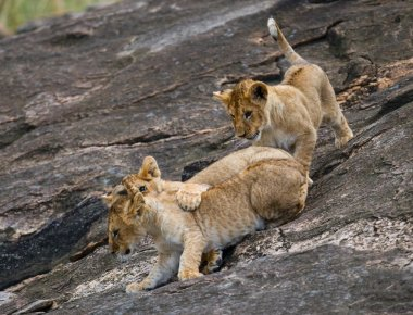 Three lion cubs playing