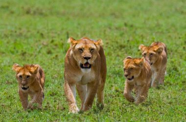 lioness in its habitat with cubs