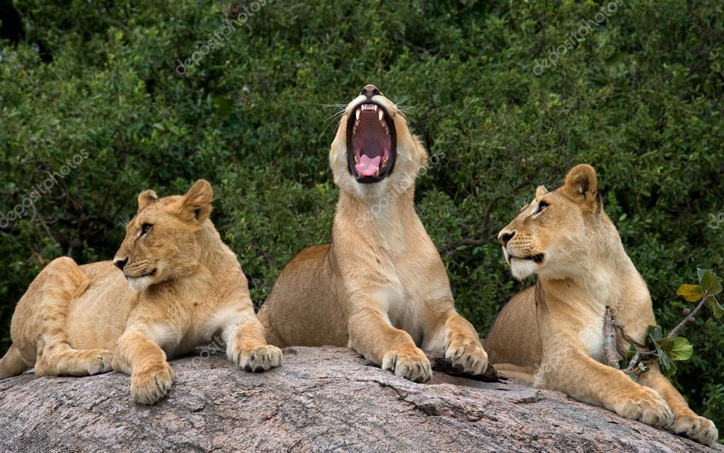 Group of lioness relaxing
