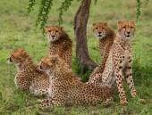 A flock of cheetahs in its habitat