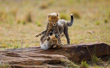 Playing cubs Cheetah