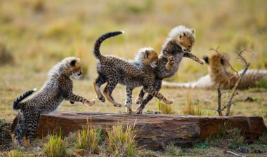 Playing cubs Cheetah