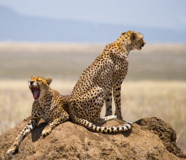 Two cheetahs in its habitat
