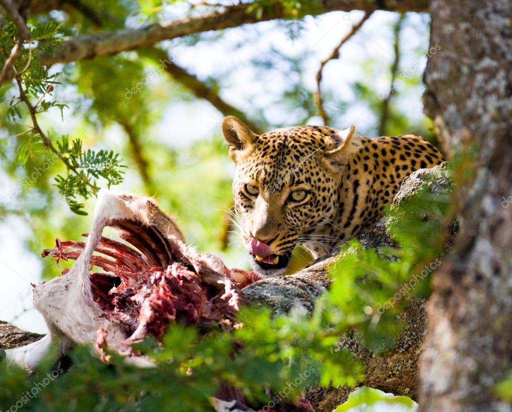 Leopard eating meat of dead animal