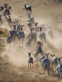 Fotografia Gregge delle zebre nel suo habitat.
