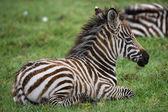 Jedna zebra ležící v trávě