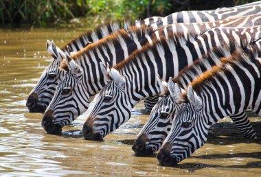 Zebras herd  drinking water