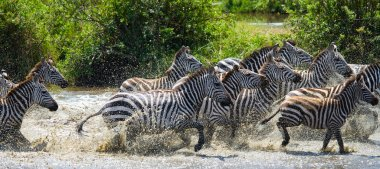 Zebras herd in its habitat running on water