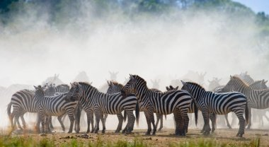 Zebras herd in its habitat.