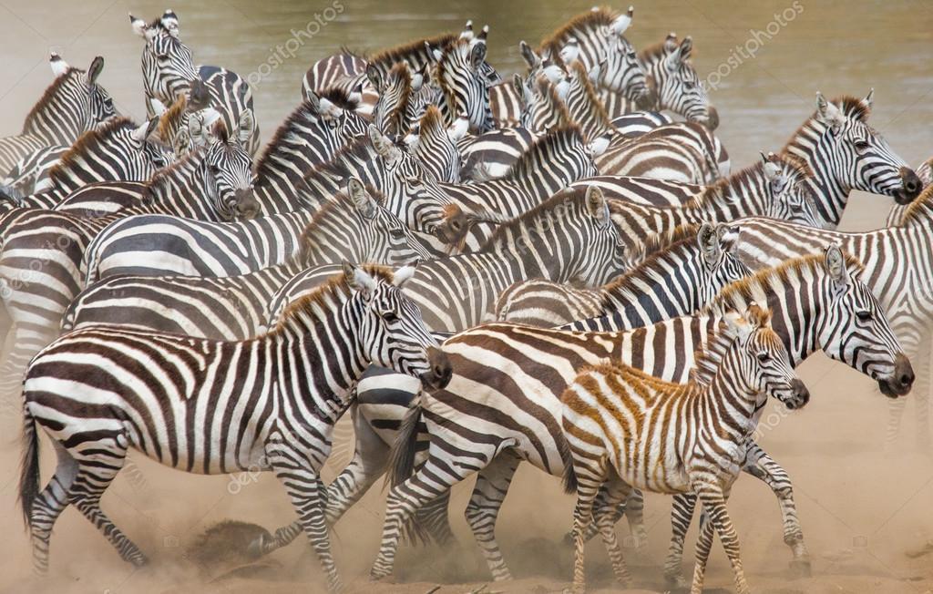 Zebras herd in its habitat.