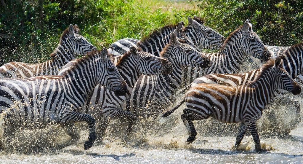 Zebras herd in its habitat running on water
