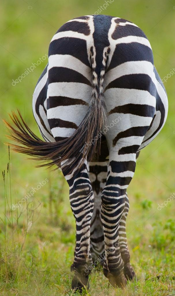 https://st2.depositphotos.com/4507459/9692/i/950/depositphotos_96922368-stock-photo-one-zebra-back-view.jpg