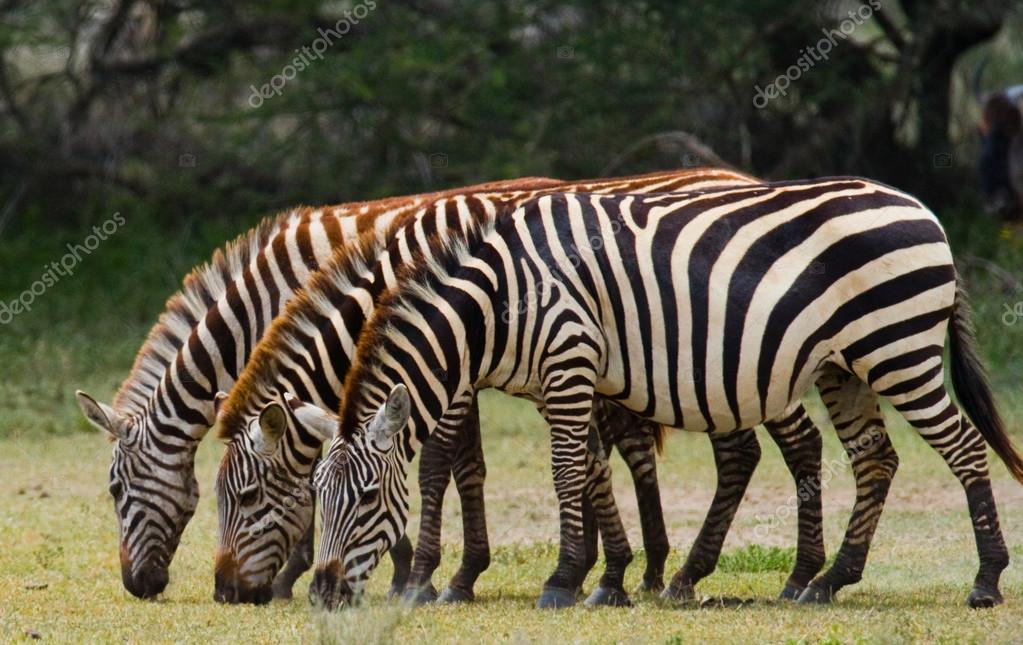 Three zebras in savannah
