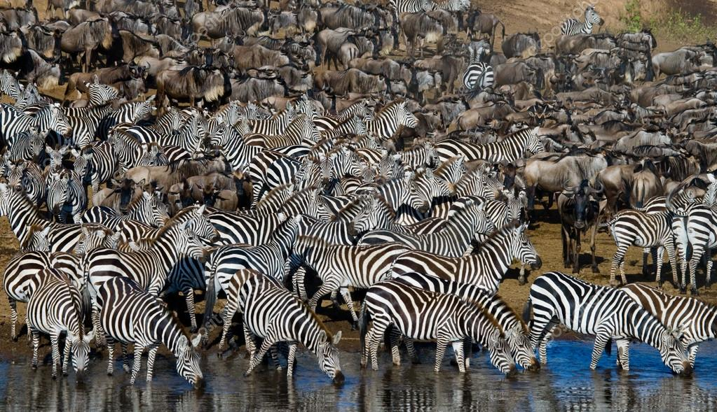 Zebras herd  drinking water