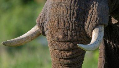 portrait of wild elephant