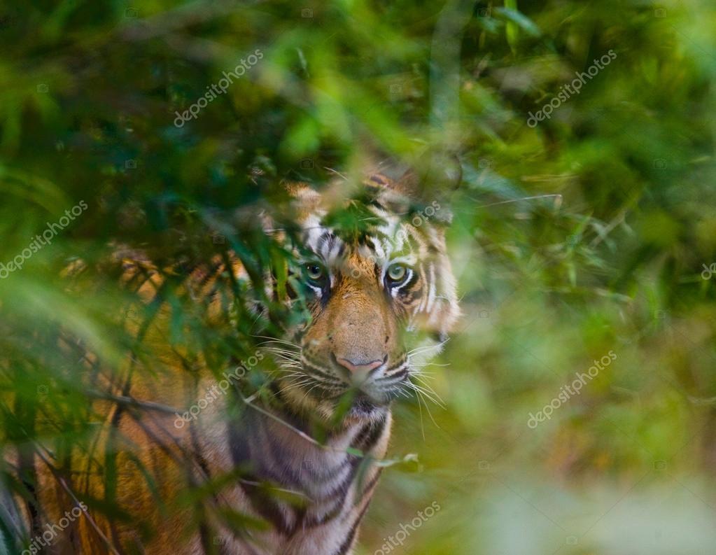 One Wild Tiger