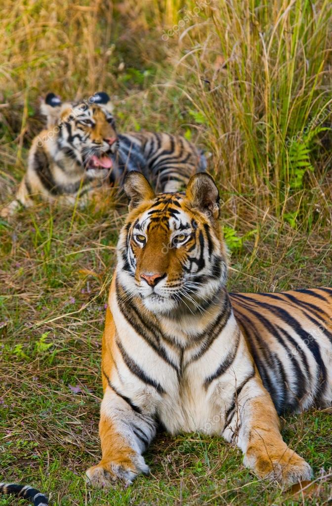 Wild Tigers lying on grass