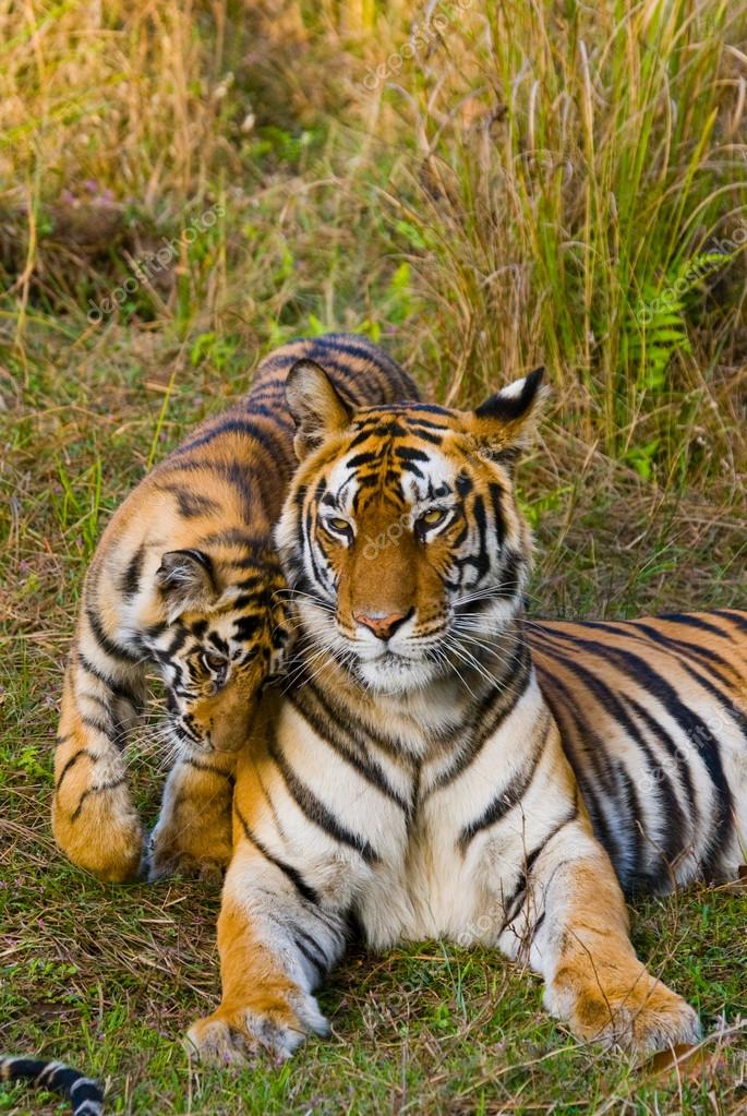 Cub and mother tiger