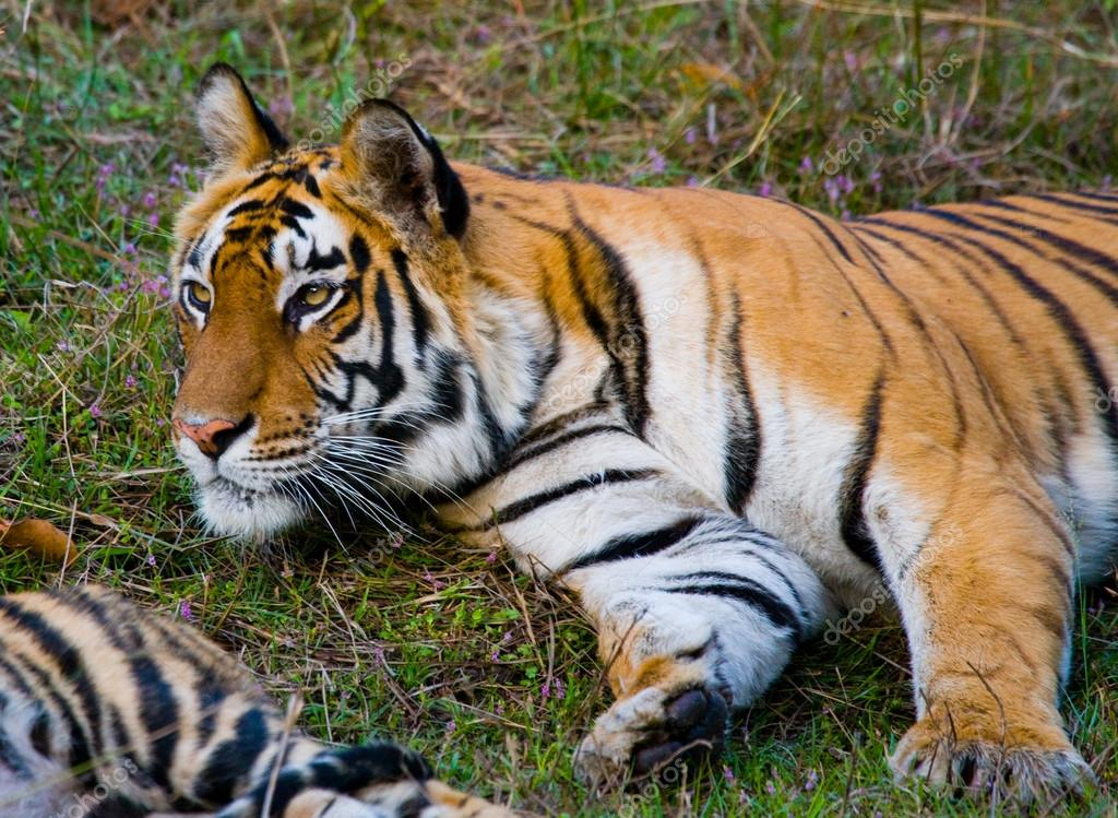 Wild Tiger lying on green grass