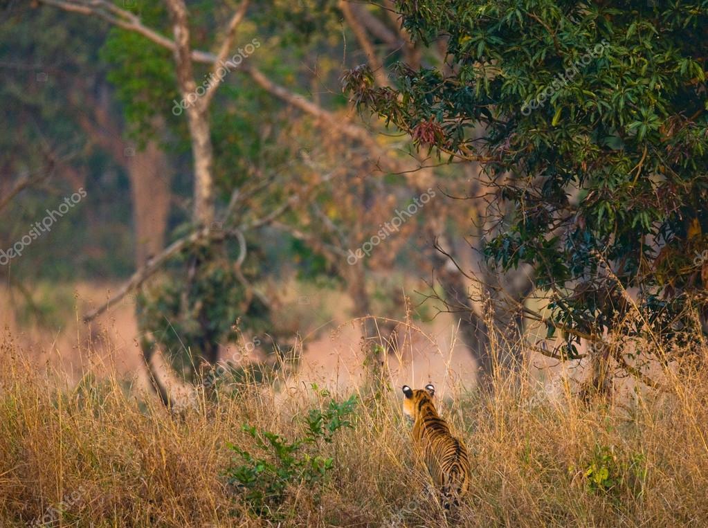 Wild Tiger going in high grass.