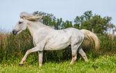 Fotografie Camargue-Pferd spielen