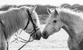 Portrait of two white horses