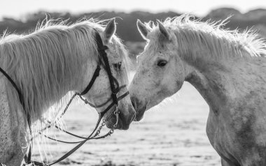 Portrait of two white horses