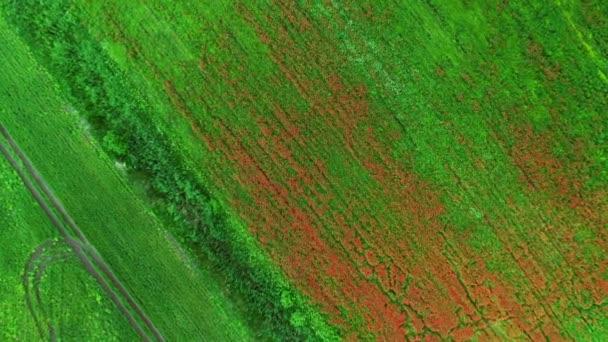 Velké pole ve vesnici s kvetoucími rostlinami. Let nad polem červených máků. Krásné květiny a jarní příroda kompozice. Poppy field. Letecký pohled, záběry z bezpilotních letounů.