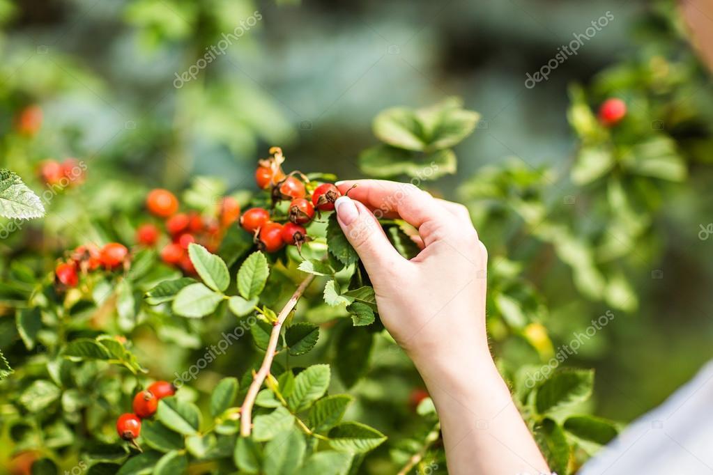 Gathering berries of wild rose.