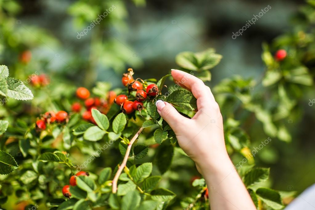 Gathering berries of wild rose.