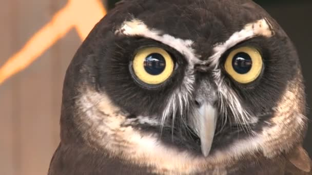 Spectacled owl looks into the camera