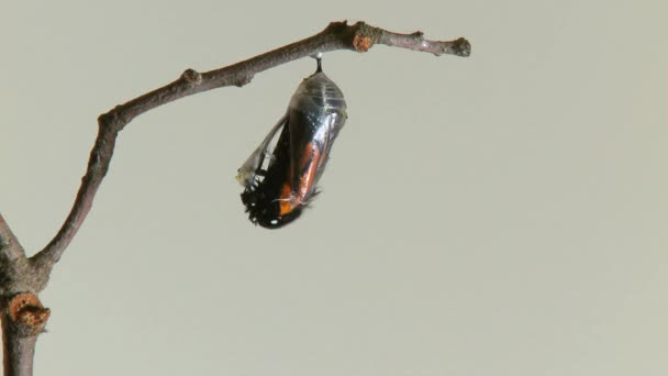Monarch Butterfly emerging from the chrysalis