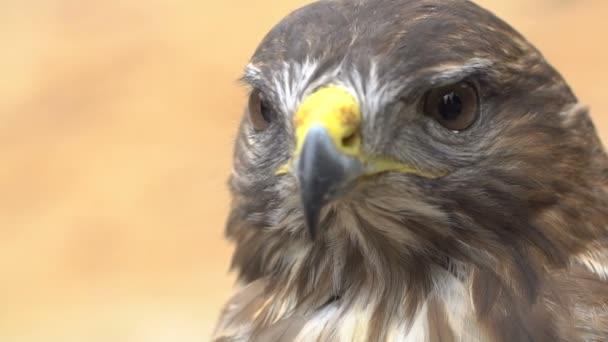 Detail rudoocasá. Dravý pták. Zpomalený záběr