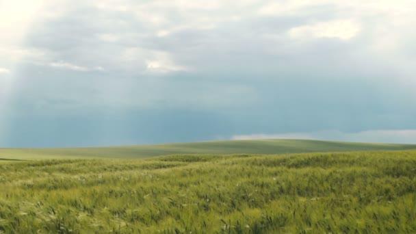 Pole zelené Wheatears