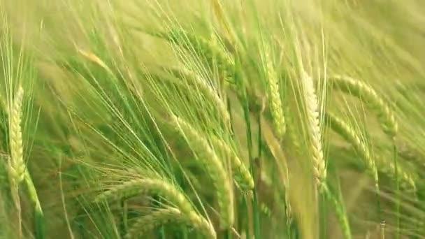 mező a búza