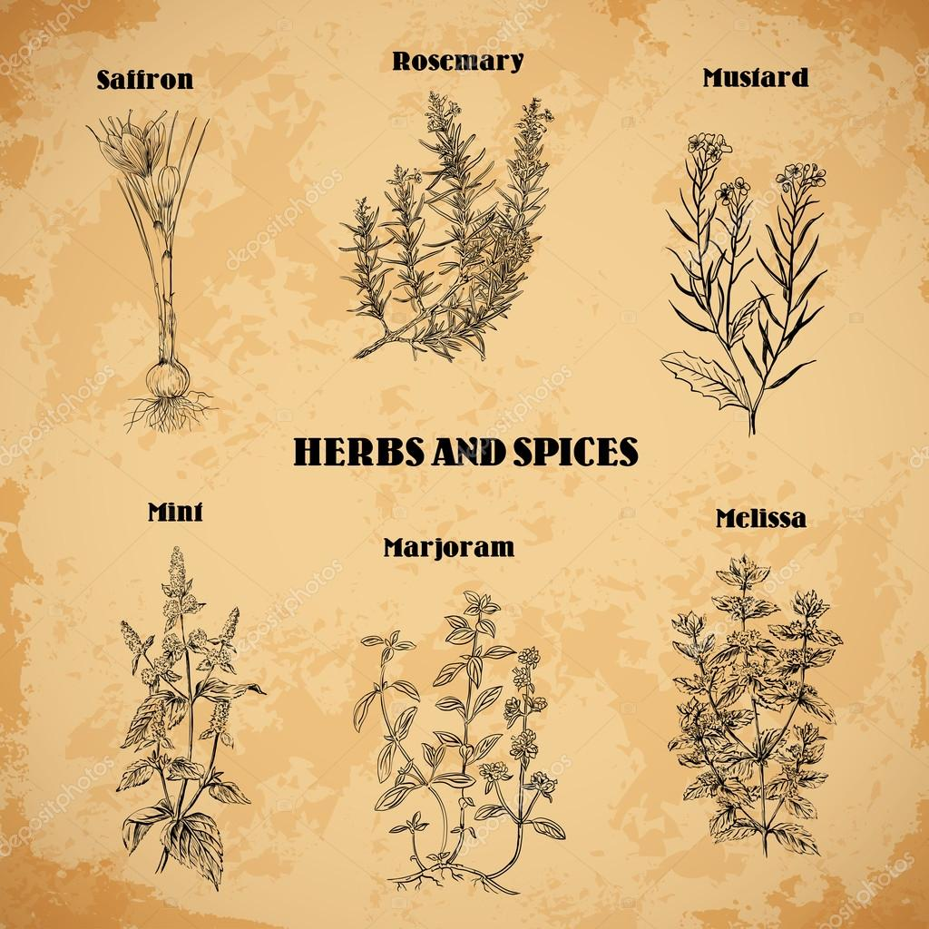 Cooking herbs and spices. Rosemary,saffron, mustard, mint, marjoram, melissa. Retro hand drawn vector illustration. Retro banner, card, scrap booking, postcard, poster
