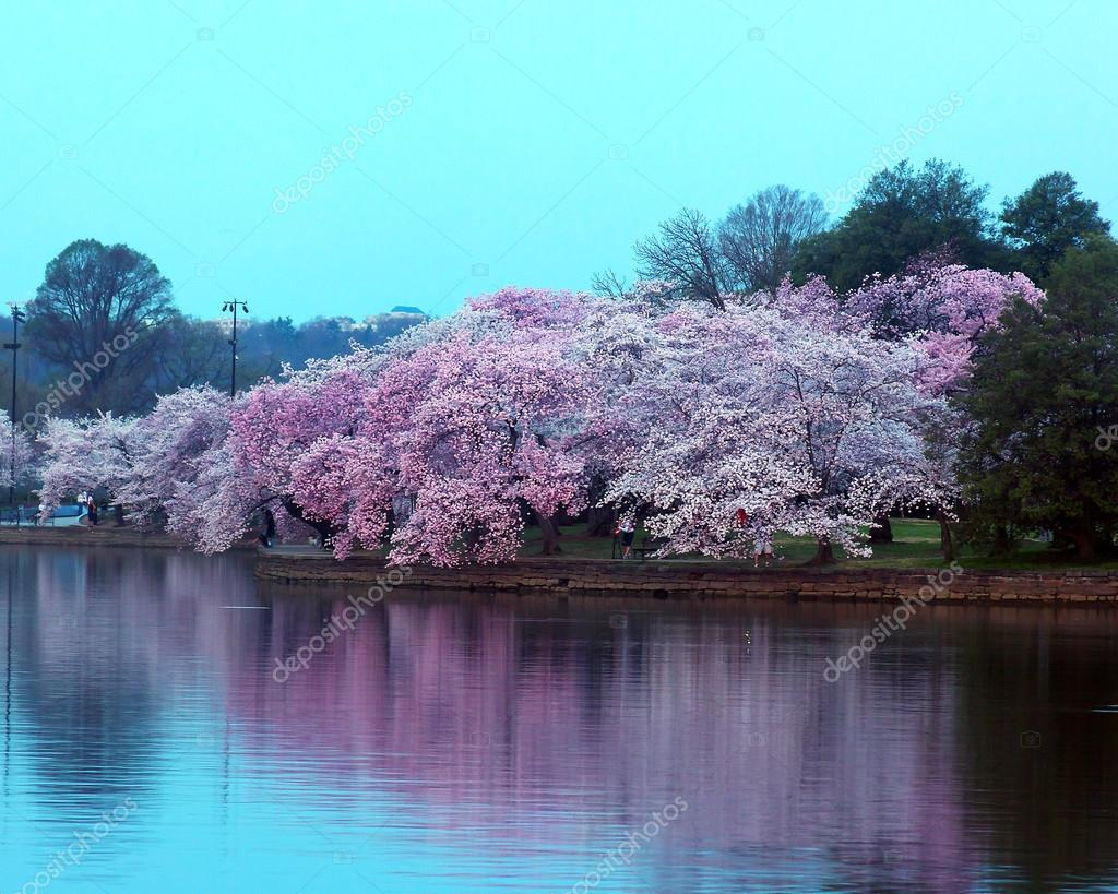 Cherry trees in blossom around Tidal Basin, Washington DC.
