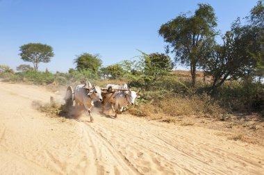 A yoke of running oxen on a dusty Myanmar road
